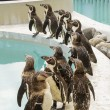 Penguins at a pool — Stock Photo