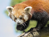 Red panda climbing — Stock Photo