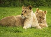 Femmes lions au repos — Photo