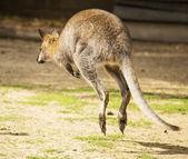 Hopping wallaby — Stock Photo