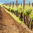Beautiful rows of young grapes in the countryside with the wine — Stock Photo #38869103