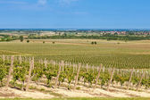 Beautiful rows of young grapes in the countryside with the wine — Stock Photo