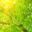 Stock Photo: Tree branch in woods, with lens flare effect added in post p