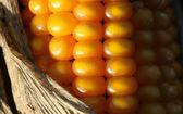 крупным планом кукурузы - осень подробно — Стоковое фото