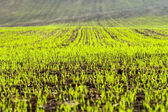 Germinated grain in the field — Stock Photo