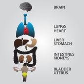 Kleur interne menselijk lichaam organen eps10 — Stockvector