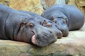 Hippos sleep photo — Stock Photo