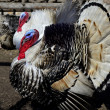 Stock Photo: Irritated turkey