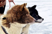 Two husky dogs on the ice — Stockfoto
