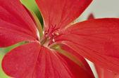 Piękny czerwony kwiat — Zdjęcie stockowe