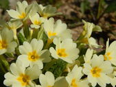 Primula vulgaris — Stock Photo