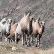 Stock Photo: Group of camels on background hills