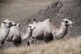 Group of camels on the background hills — Stock Photo