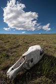 Animal skull in a field against a blue sky — Stock Photo