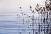Cañas en el lago — Foto de Stock