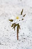 Snowdrop in snow — Stock Photo