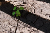 Pierces the germ of an old stump as a symbol of a new business, — Stock Photo