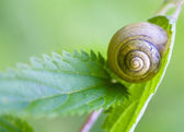 Snail on a stalk of grass. — Stock Photo