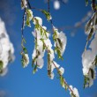 Tree branch with green leaves covered with snow. — Stock Photo #46064089