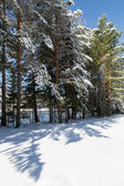 Winter forest, snow covered trees, spruce. — Stock Photo