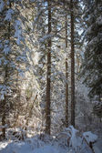 Winter forest, snow covered trees, spruce. — Stok fotoğraf