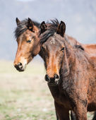 Portrait of two horse. — Stock Photo