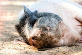 Pig sleeping in the shade of a tree — Stock Photo