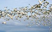 Snow geese — Stock Photo