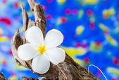 Flor de frangipani (Plumeria) na madeira — Fotografia Stock