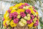 Beautiful flowers of chrysanthemums — Stock Photo