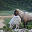 Goat's couple in the high mountains — Stock Photo