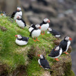 Stock Photo: Colony of puffins on secliff