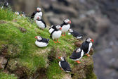 Colony of puffins on a sea cliff — Stock Photo