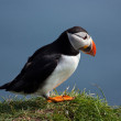 Stock Photo: Puffin on Faroe Islands