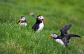 Puffins of Faroe Islands — Stock Photo