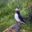 Stock Photo: Puffin coming out of its burrow