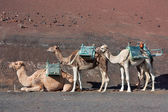 Lanzarote, camels waiting for tourists — Stock Photo