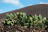 Lanzarote, cactus plant — Stock Photo