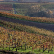 Autumnal vineyards in Italy — Stock Photo