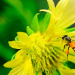 Stop motion bee flight. bugs airspace. yellow flowers — Stock Photo