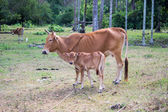 Thai native breed cow — Photo
