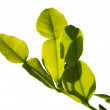 Young kaffir lime leaves — Stock Photo #44682907