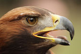 Golden Eagle (Aquila chrysaetos) — Stockfoto