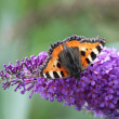 Stock Photo: Small Tortoiseshell (Aglais urticae)