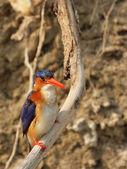 Malachite Kingfisher (Alcedo cristata) — Foto de Stock