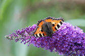 Small Tortoiseshell (Aglais urticae) — Stock Photo