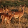 Impalas (Aepyceros melampus) — Stock Photo