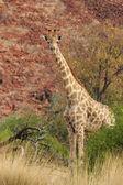 Giraffe (Giraffa camelopardalis) — Stock fotografie