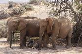 Desert Elephants — Stock Photo