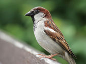 House Sparrow (Passer domesticus) — 图库照片
